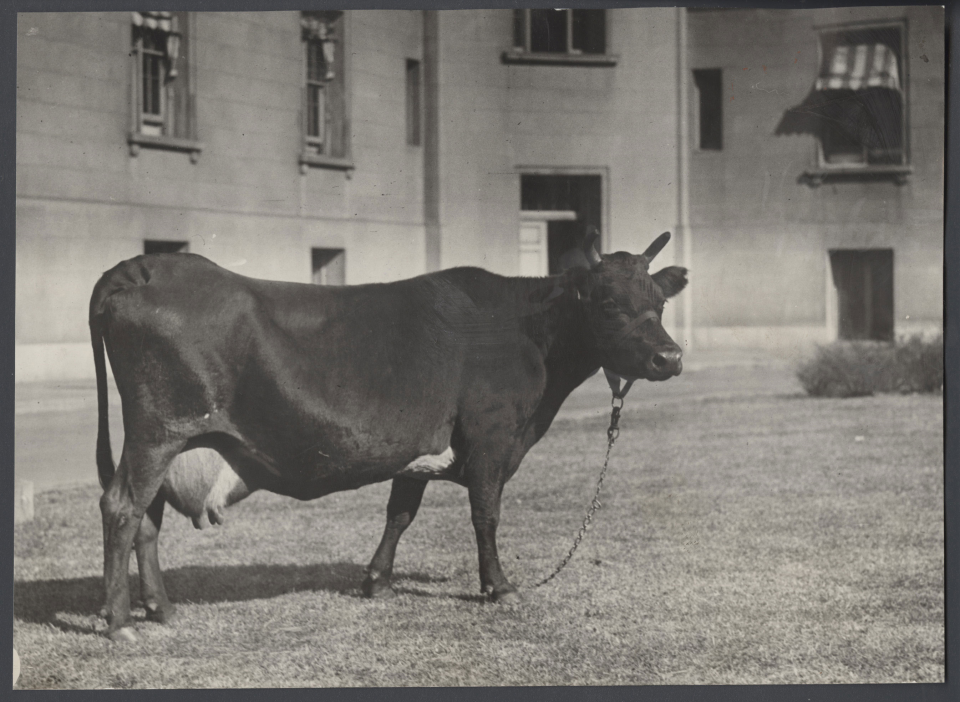 Photograph of Bossie the Cow