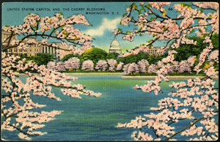 United States Capitol and the Blossoms Postcard